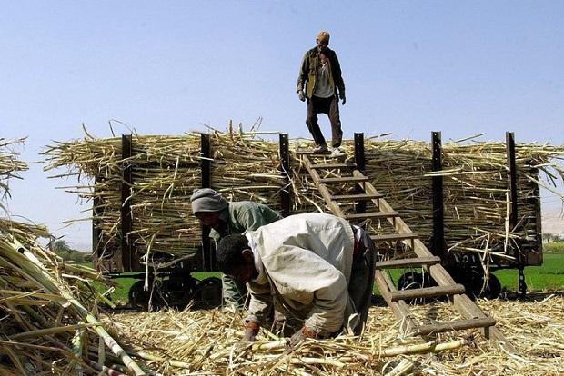 Landarbeiter beladen auf einem Feld in der Umgebung von Luxor mit geernteten Zuckerrohr einen Güterwaggon, der die Ernte zu einer Zuckerfabrik transportiert (Archivfoto von 2003). Europas abgeschotteter Zuckermarkt steht vor radikalen Veränderungen. Die EU-Kommission stellt am Mittwoch (22.06.2005) in Brüssel ihre Reformvorschläge vor. Die garantierten Preise für Zucker sollen deutlich gesenkt werden. Sie liegen derzeit weit über dem Weltmarktpreis. Die EU steht zudem bei der Welthandelsorganisation unter massivem Druck, den Markt zu öffnen. Europas Rübenbauer und die Industrie laufen Sturm gegen die Pläne. Foto: Khaled Desouki dpa +++(c) dpa - Bildfunk+++
