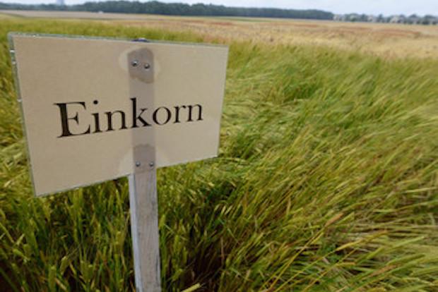Die alte Weizenart Einkorn auf dem Feld.   Bildquelle: Universität Hohenheim, Eyb