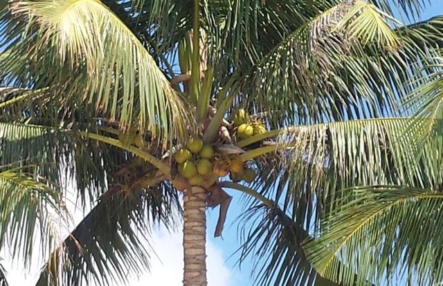 Kokos Palme biokontakte