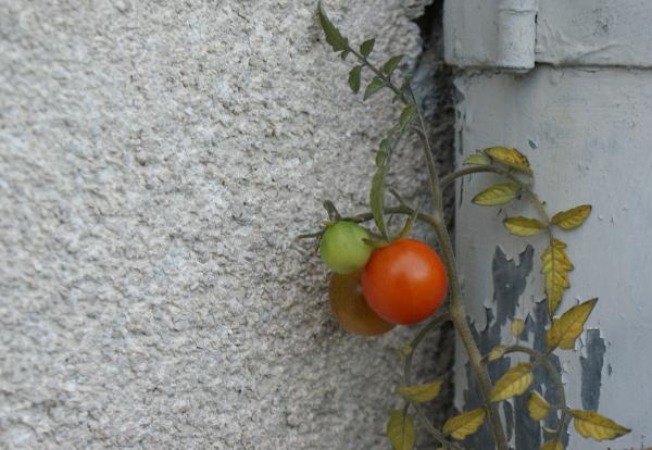 Tomaten urban gardening
