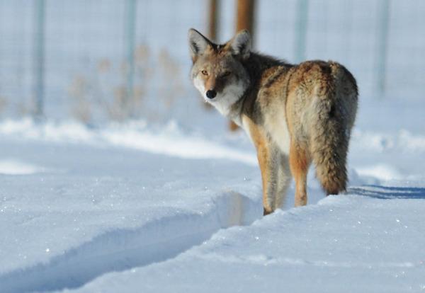 Der Koyote kann ein guter Lehrer sein. - Photocredit: pixabay.com/skeeze