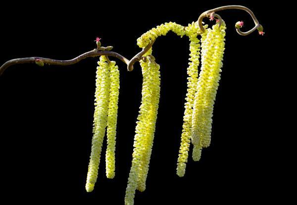 blühende Haselblüte - Photocredit: pixabay.com/Gellinger