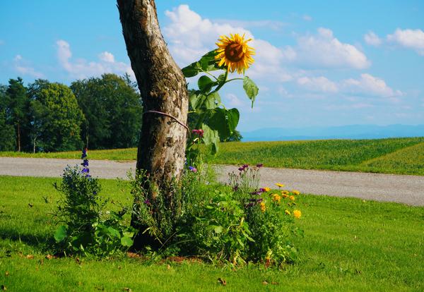 Einzigartig sein wie diese Sonnenblume; Fotocredit: Anna Wahl
