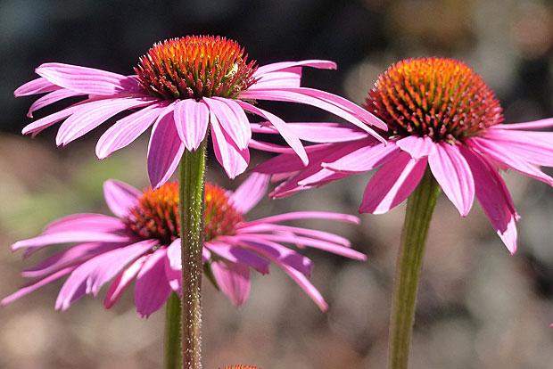 5. Echinacea soll das Immunsystem stärken