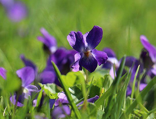 8. Frühlingsrezept: Veilchenmarinade