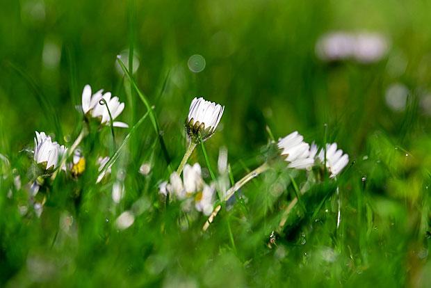10. Frühlingsrezept: Gänseblümchenkäse