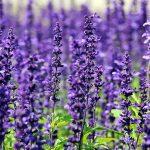 2. Lavendel
