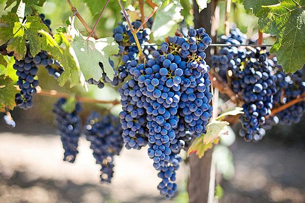 5. Weintrauben: Diese enthalten durchschnittlich fünf verschiedene Pestizide