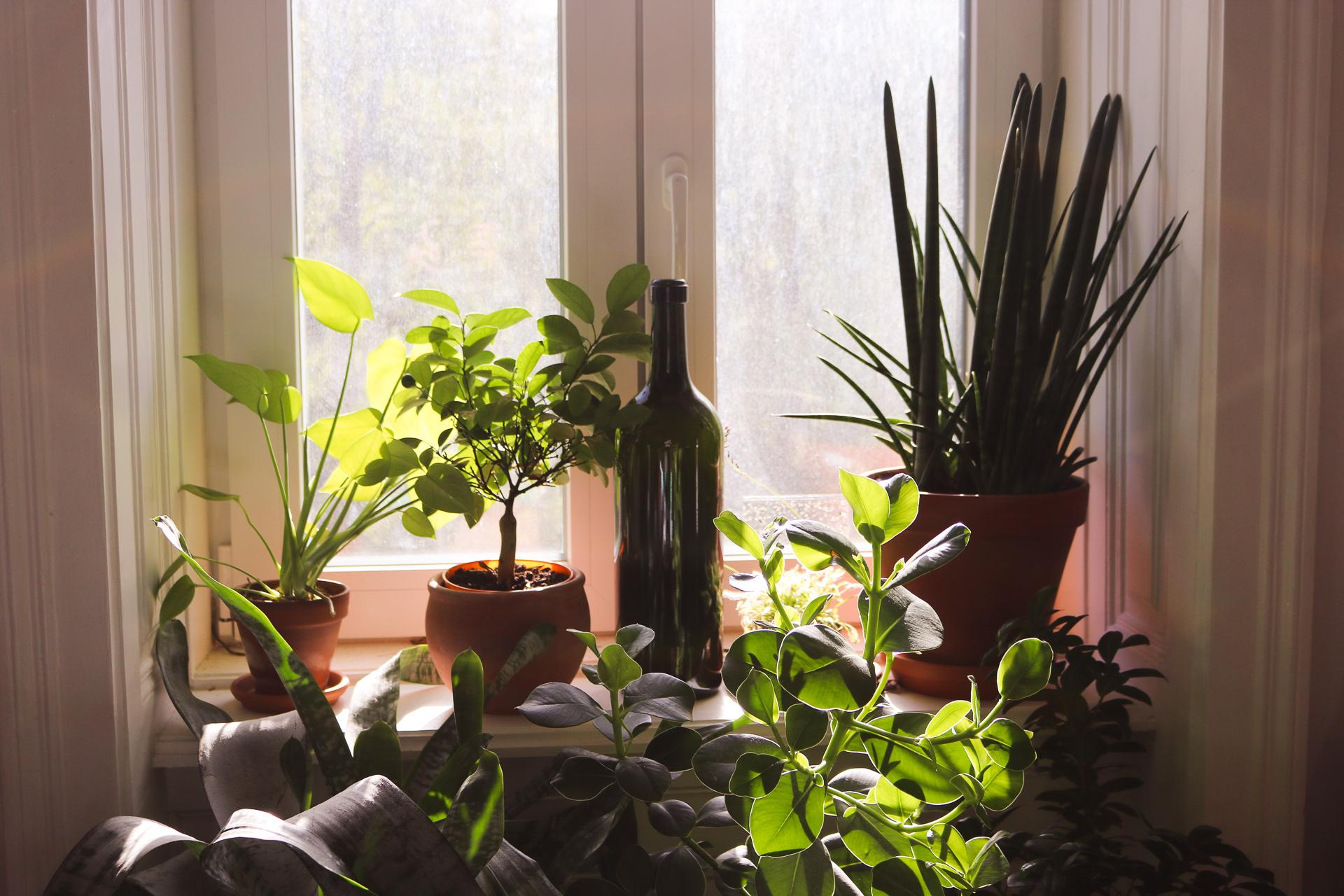 Das Wasser ist auch perfekt geeignet für Zimmerpflanzen! Durch den geringen Kalkanteil vertragen es auch exotische Pflanzen sehr gut. Fotocredits: Laurel Koeniger