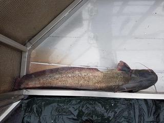 Wels (Silurus glanis) - Fotocredit: ezb (Technische Büros für Angewandte Gewässerökologie, Fischereiwirtschaft, Kulturtechnik und Wasserwirtschaft)