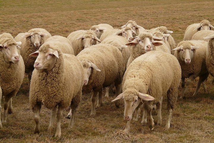 Schafwolle gehört zu den Materialien, die am besten wärmen Fotocredit: pixabay/Hans