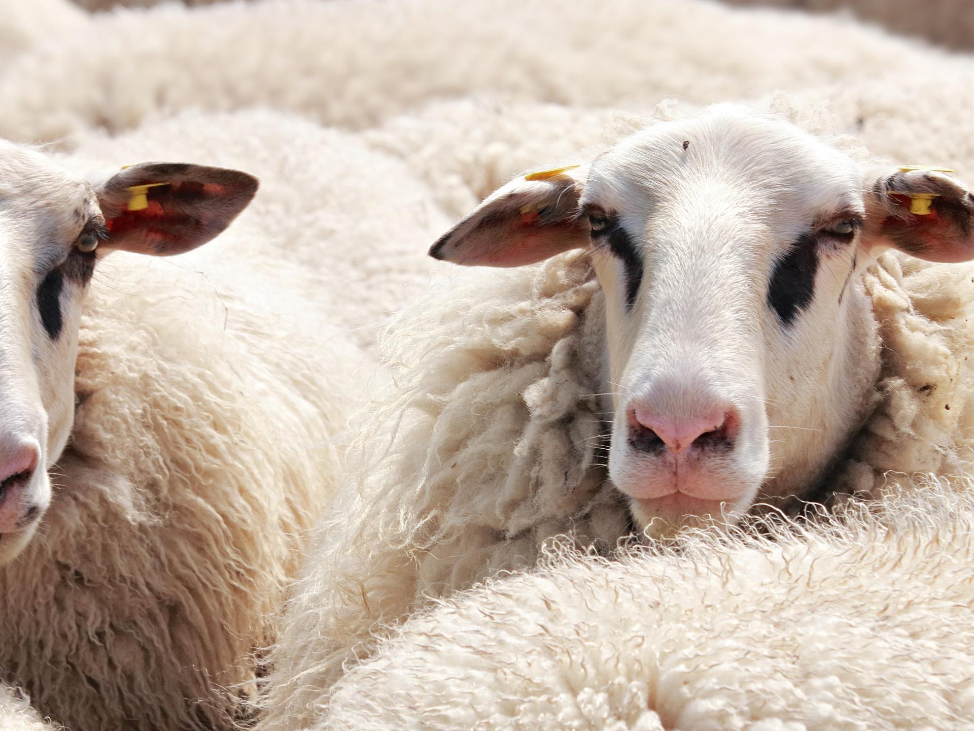 Schafe liefern das ideale Naturmaterial für Jacken, Hauben, Schals und Handschuhe. - Photocredit: pixabay.com/pixel2013