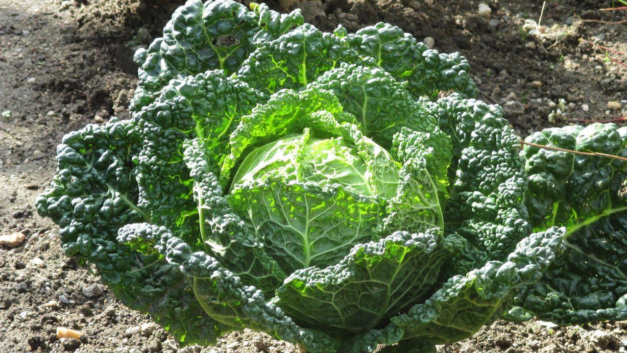 Neben der Verwendung in der Küche (Vitamin A, B, C, Kalzium und Eisen) wird dieses Gemüse auch in der Heilkunde angewendet. So helfen Wirsingkohlwickel bei Rheuma, Gichtschmerzen und Fieber. Foto: dat doris, Wikimedia