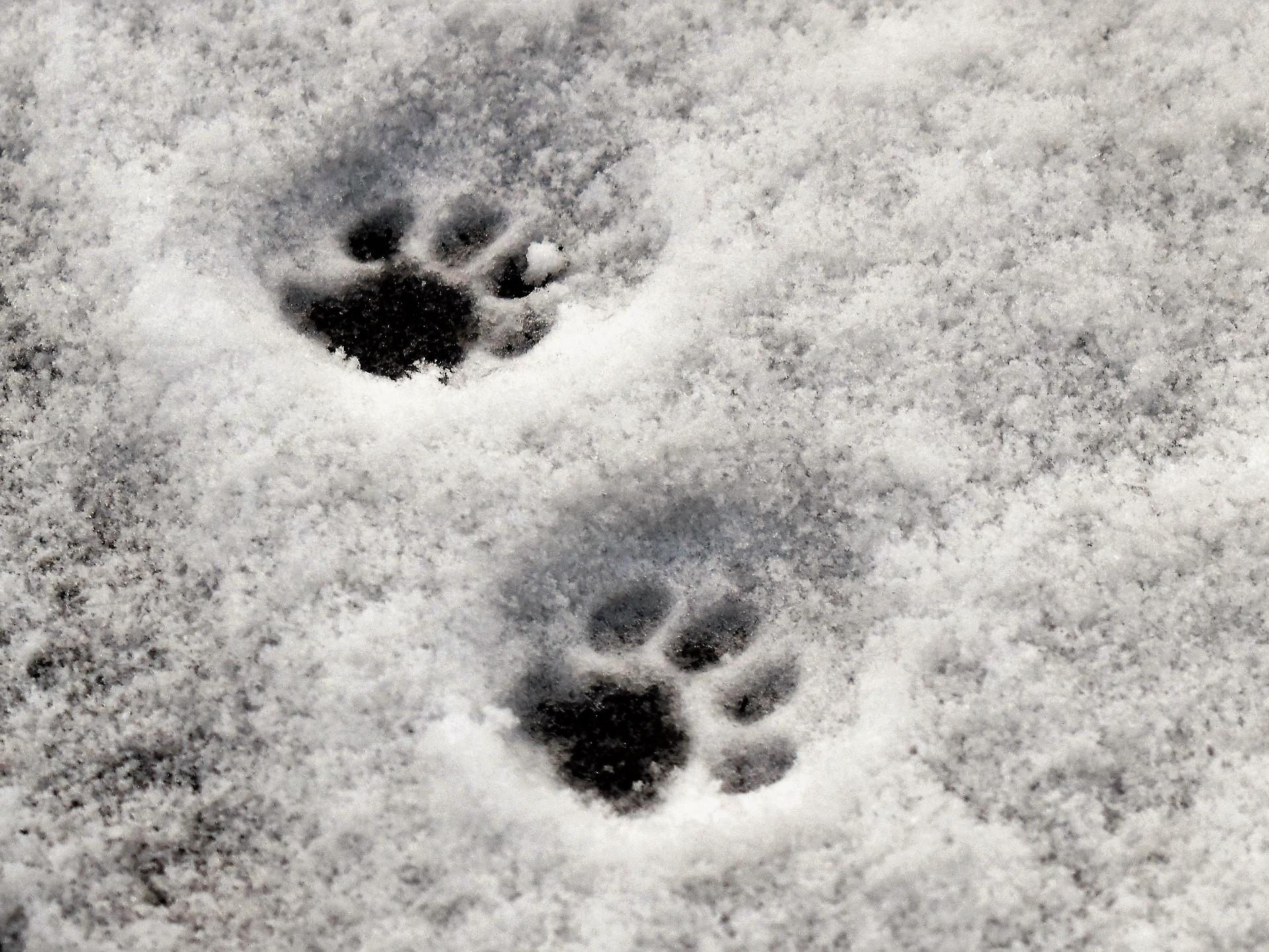 In Wohngegenden kann man sehr häufig Katzenspuren im Schnee entdecken. - Photocredit: pixabay.com/Pitsch