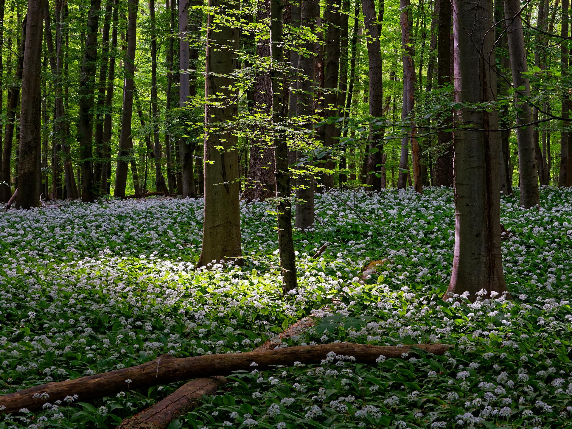Im März findet man sehr häufig riesige Bärlauchfelder. - Photocredit: pixabay.com/9685995