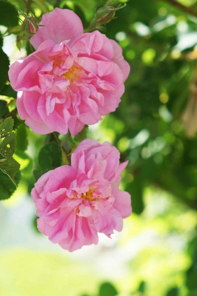 Unvergleichlicher Duft der Rosen. - Fotocredit: Doris Kern