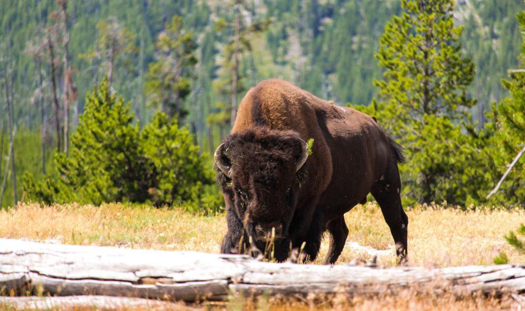 Bisons könnten wieder häufiger gesehen werden. Bild: Unsplash (https://unsplash.com/photos/bSp9pJGR4tU)