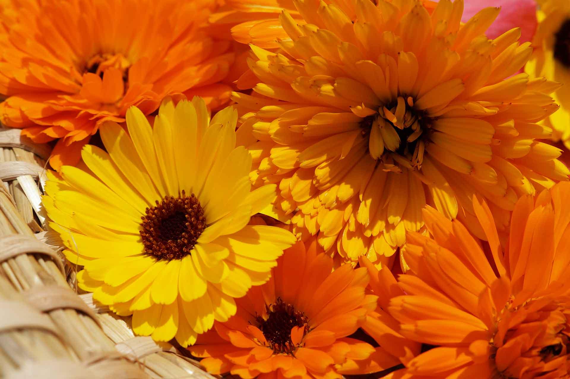 bewährtes Hausmittel für die Haut - die Ringelblume