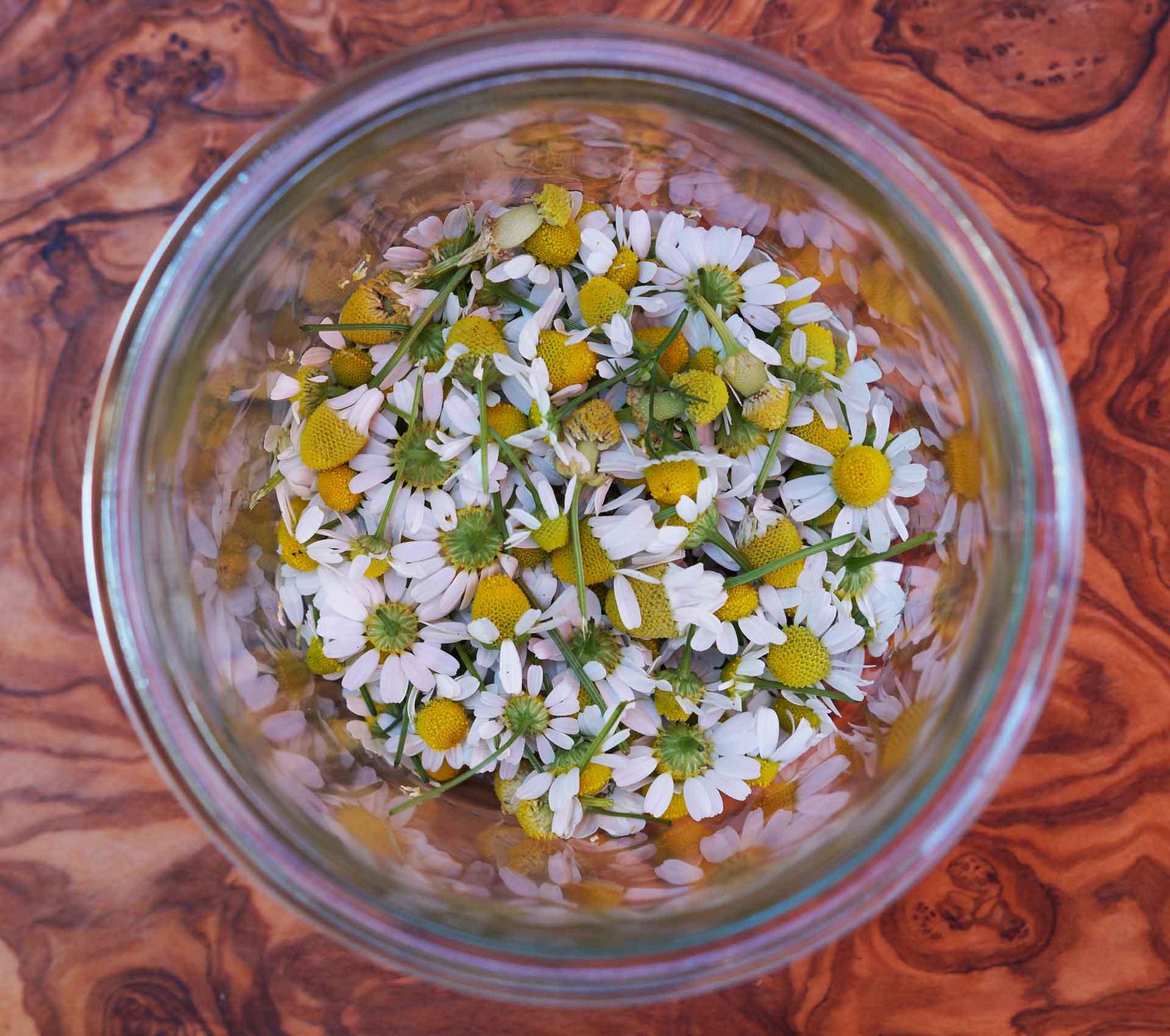 Kamillenblüten sammeln