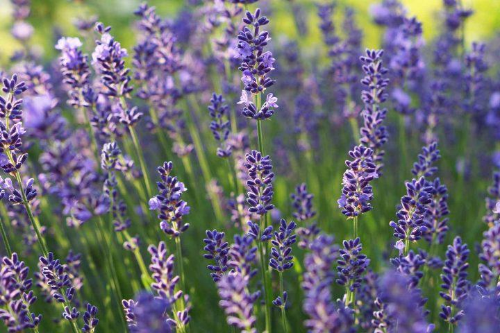 Aromatischer Lavendel. - Fotocredit: Doris Kern