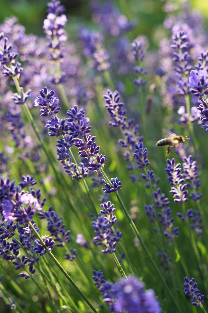 Lavendel im Garten. - Fotocredit: Doris Kern