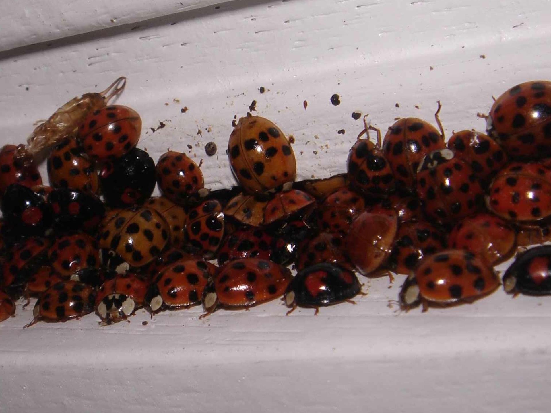 Im Winter findet man häufig größtere Gruppen, die sich am leicht undichten Fensterrahmen scharen. - Photocredit: de.wikipedia.org/Fadi