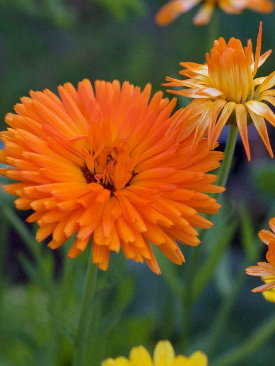 Ringelblume - die Wundheilerin aus dem Garten. – Fotocredit: Doris Kern