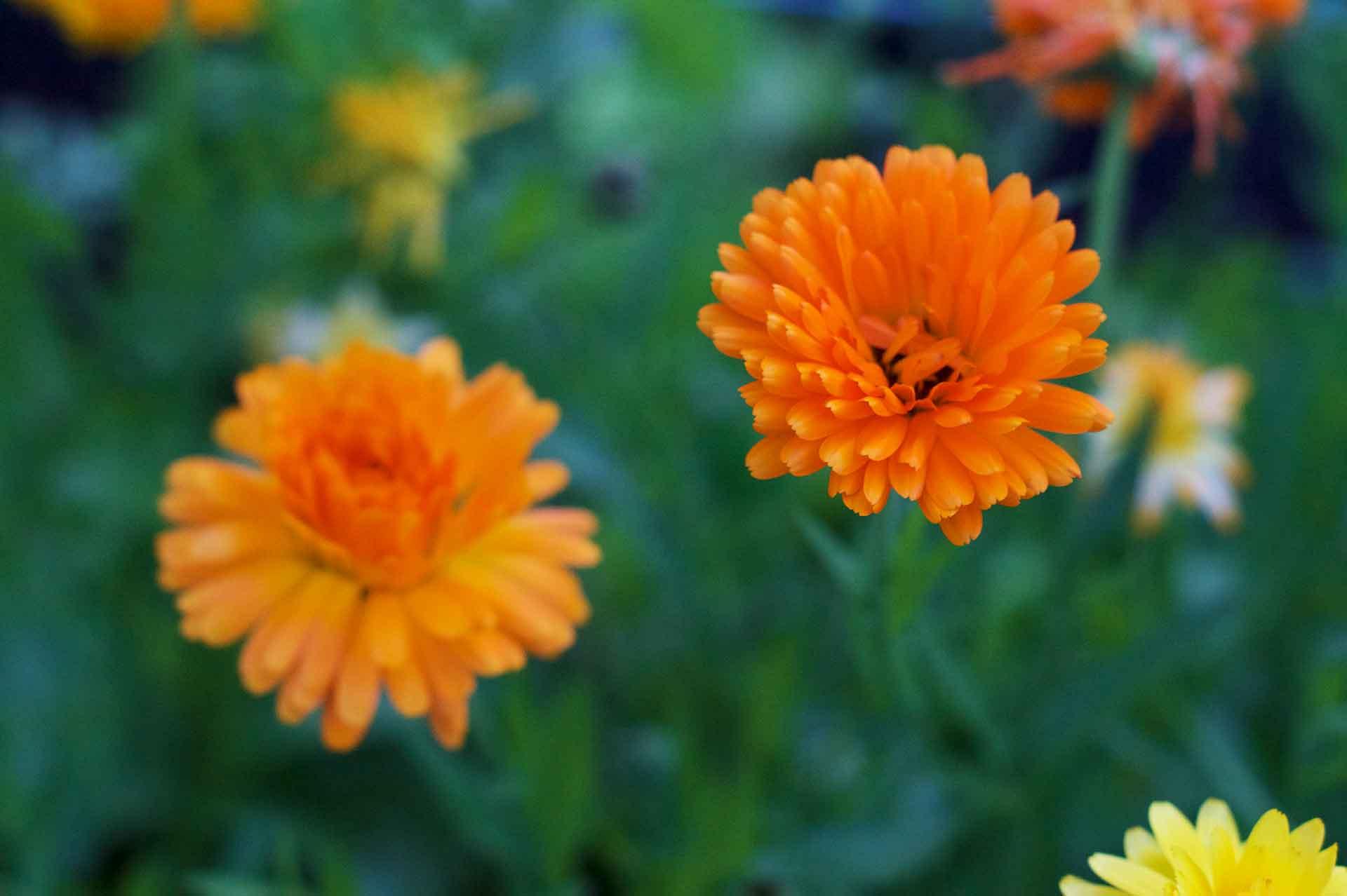 Ringelblumen - typische Bauerngartenpflanze