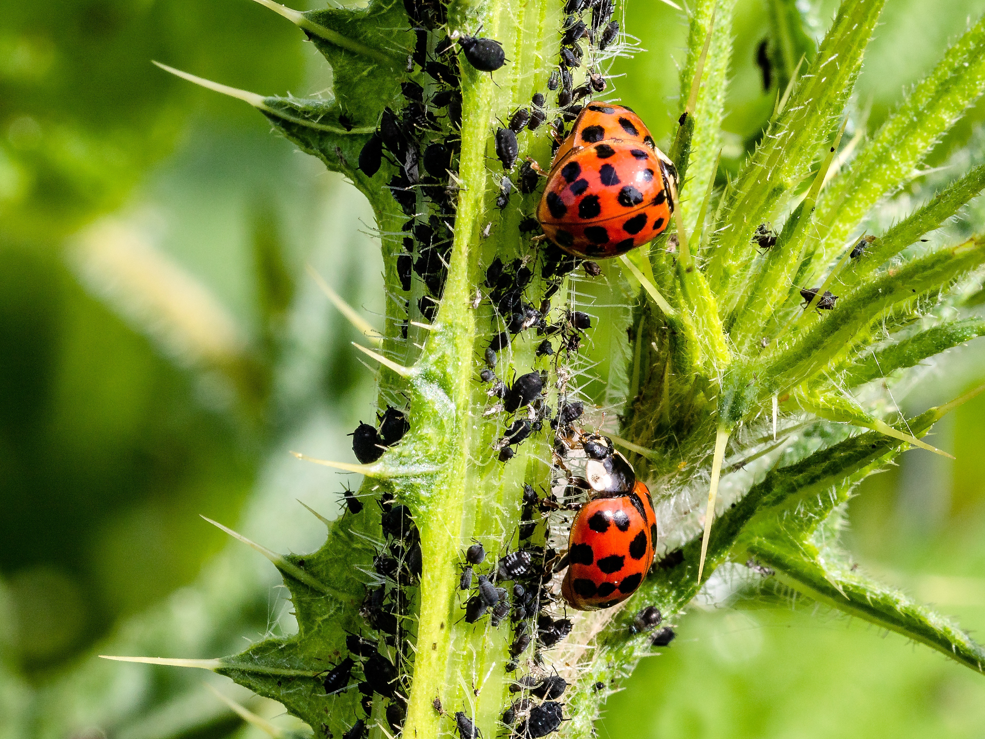 Marienkäfer machen sich mit Begeisterung über die lästigen Blattläuse her. - Photocredit: pixabay.com/Myriams-Fotos