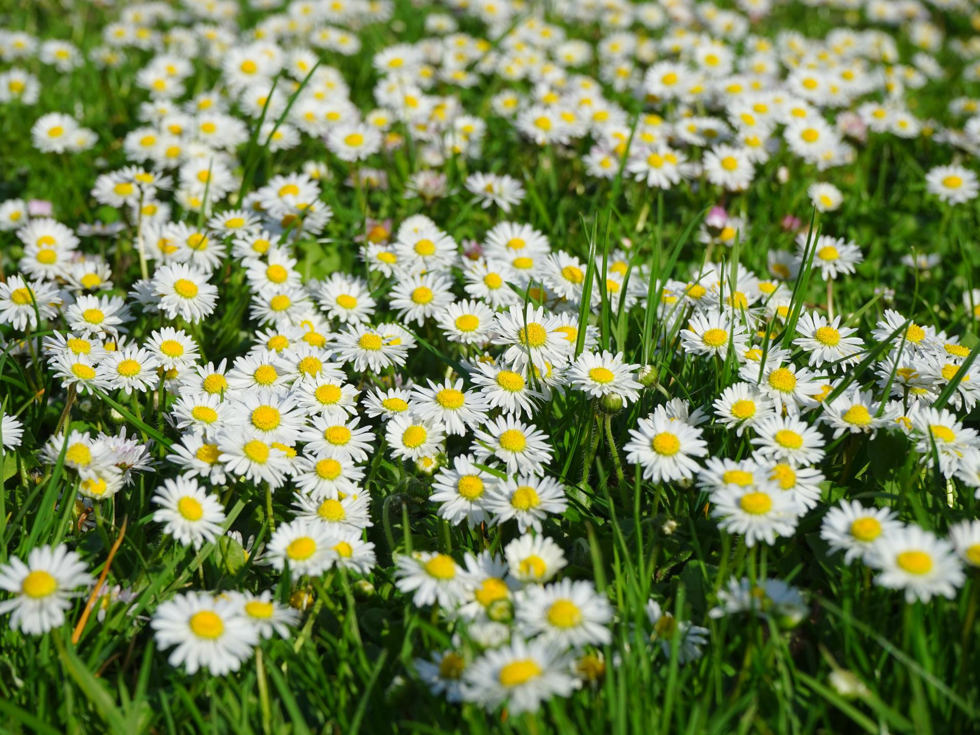 Gänseblümchen sind eine beliebte Ergänzung für Salate und Suppen. - Photocredit: pixabay.com/Hans