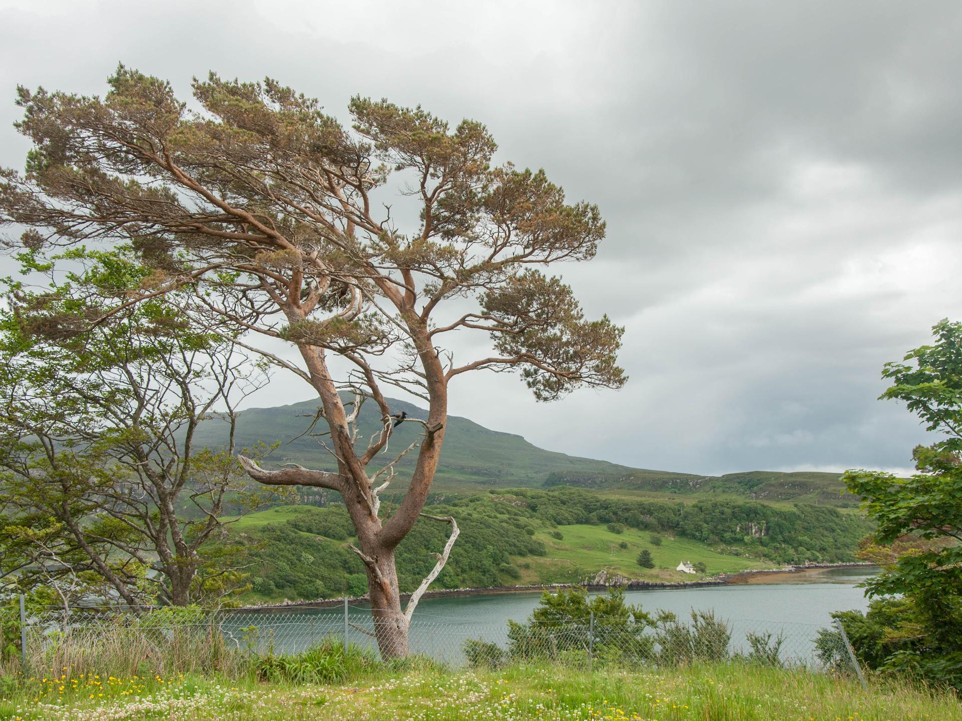 Wenn Bäume einzeln stehen, kann man häufig an der Wuchsform sehen, woher die meiste Zeit der Wind kommt. - Photocredit: pixabay.com/neuss-rpn
