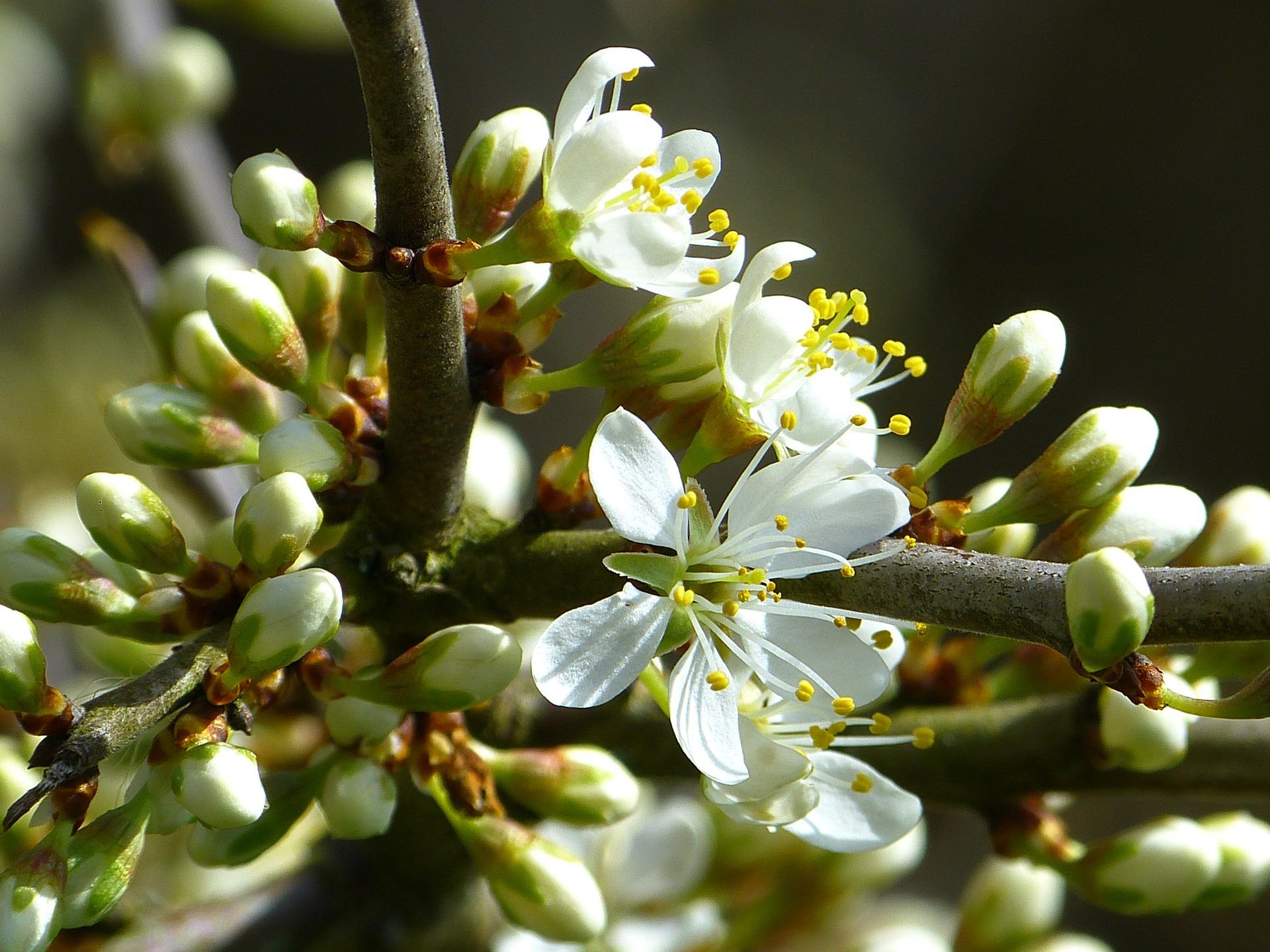 Schlehen-Blüten kann man ebenfalls essen. Sie sind jedoch etwas herb im Geschmack. - Photocredit: pixabay.com/LoggaWiggler