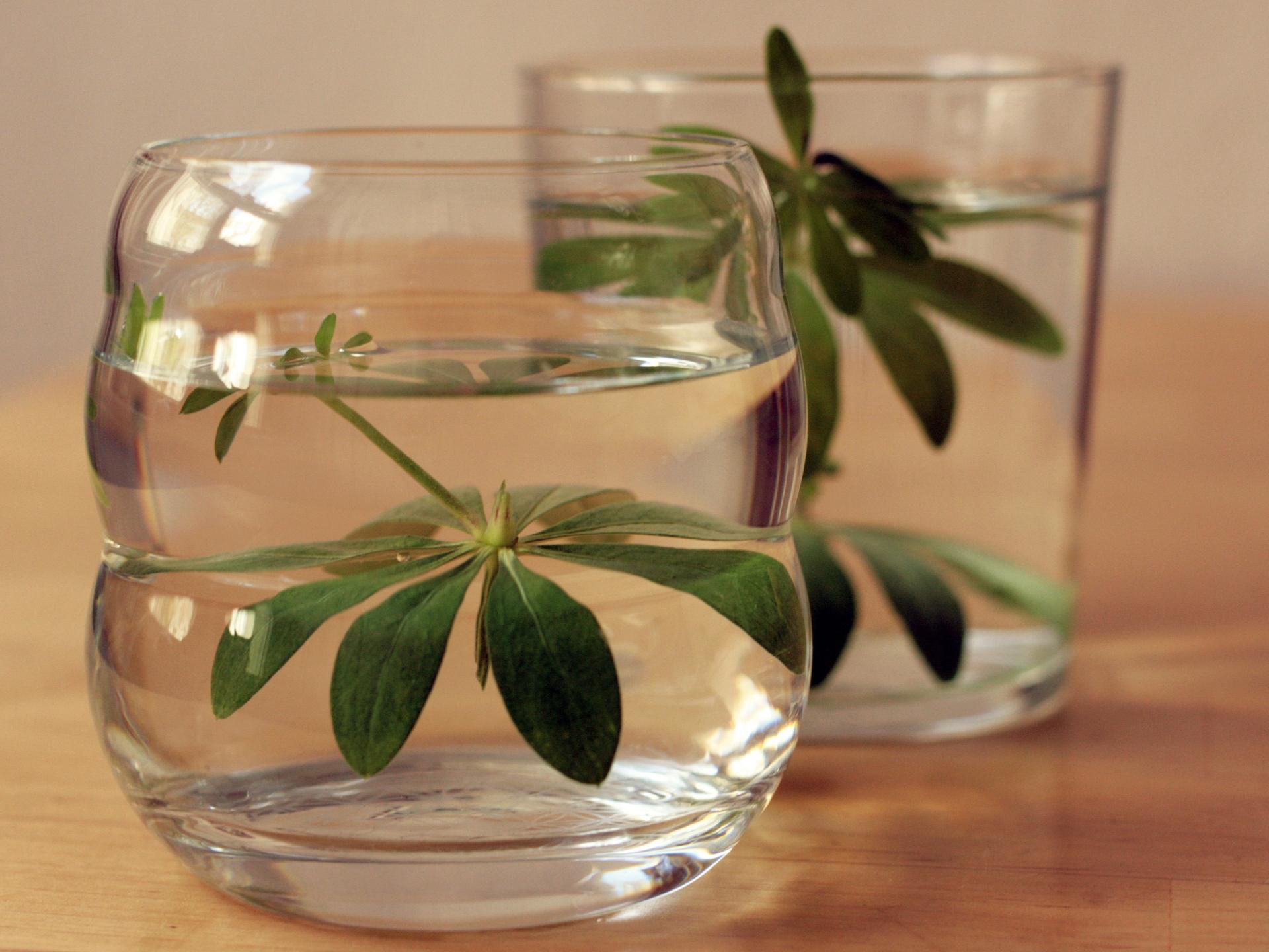 Auch wenn man häufig Bilder sieht, wo Waldmeister in die genutzte Flüssigkeit eingelegt ist, ist hier genau auf die Dauer zu achten. - Photocredit: pixabay.com/anandasandra