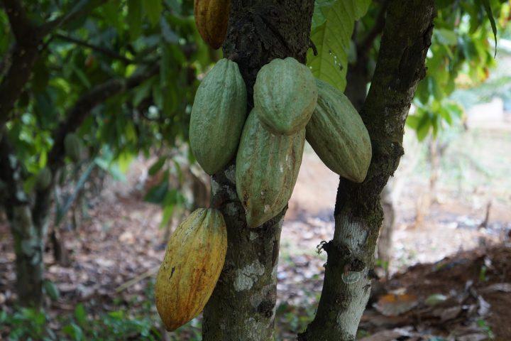 Energie aus Kakaoschalen? In Ghana vielleicht bald Realität – Foto: © Diraw / pixabay.com