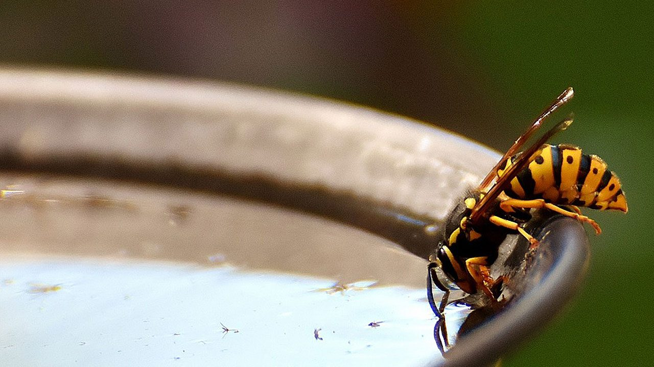 4. Verwende ätherische Öle wie Lavendel oder Pfefferminze in einer Duftlampe, um Wespen fern zu halten. - Fotocredit: Pixabay/Alexas_Fotos