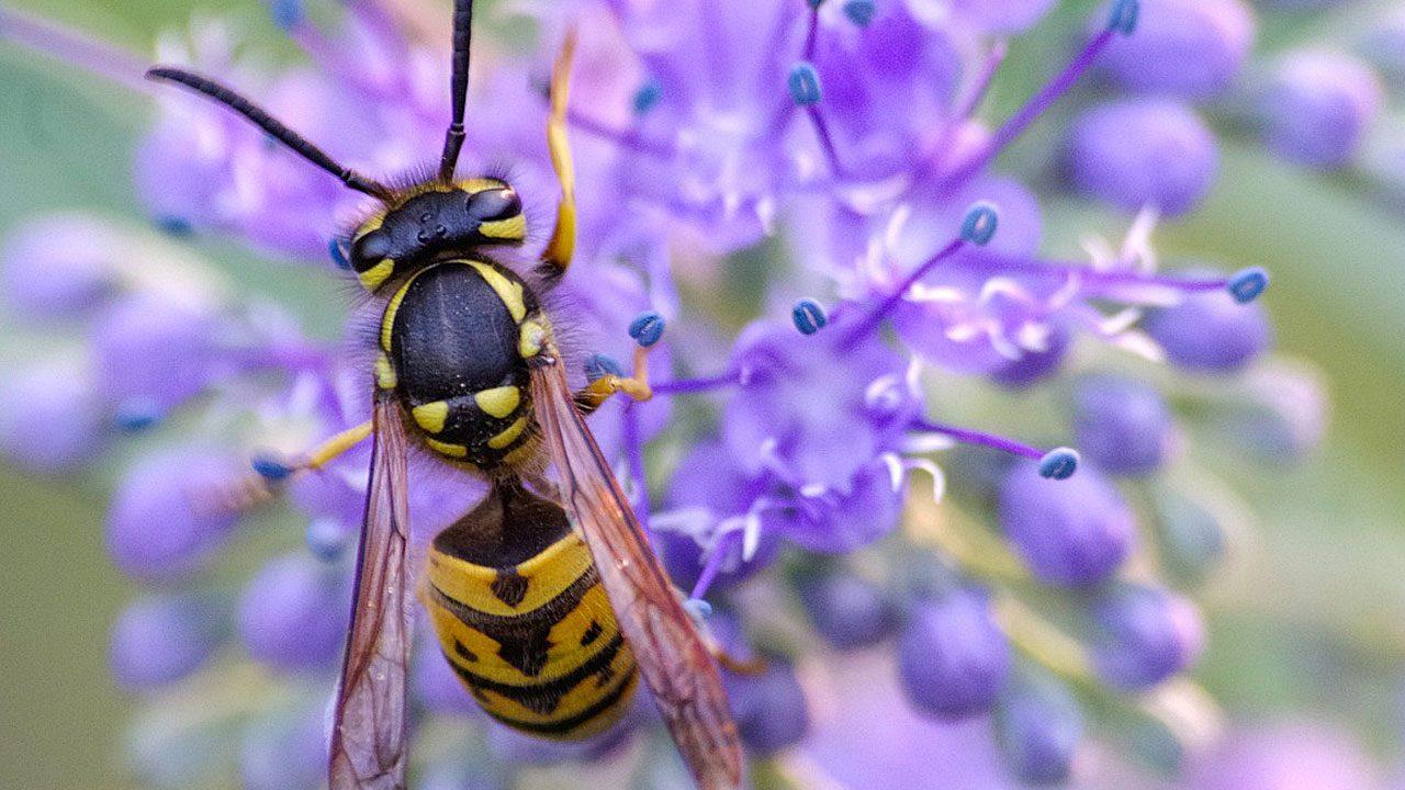6. Wespen sind nützlich. In Österreich stehen sie unter Artenschutz. Grundlos töten soll man sie nicht. - Fotocredit: Pixabay/wal-172619