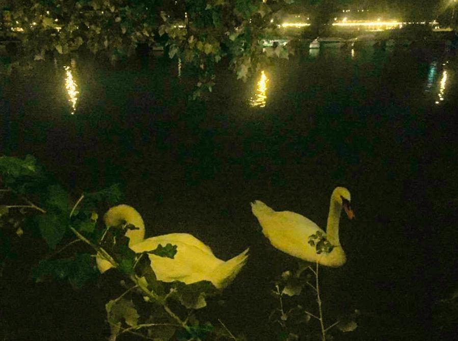 Nicht nur menschliche Paare finden das ruhige Naturidyll am Abend auf der Donauinsel romantisch.