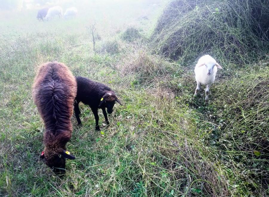 Die Schafe auf der Donauinsel sind eine bereits umgesetzte Maßnahme des EU-Projektes LIFE DICCA.