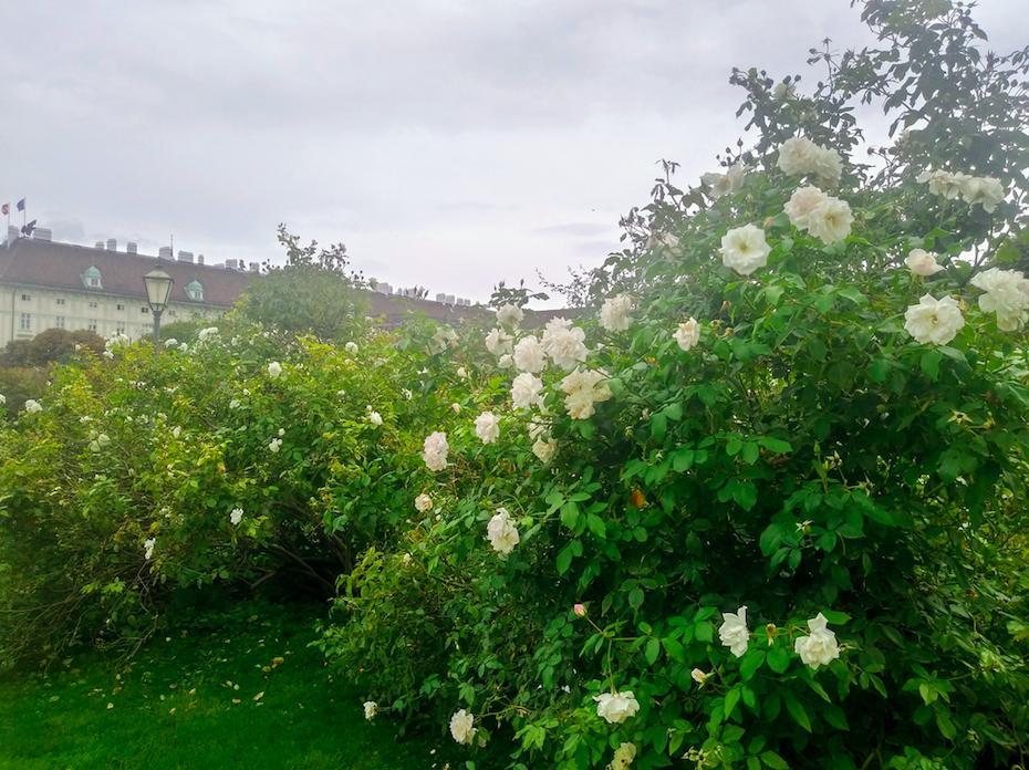 Wer Rosen mag, wird den Volksgarten lieben. In allen Farben und Formen findet man sie hier.