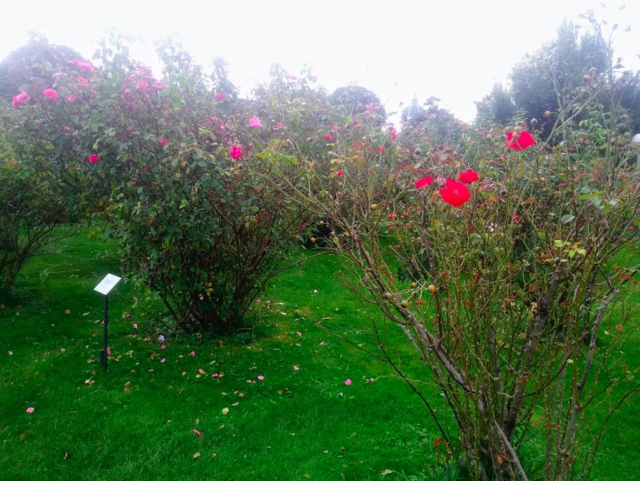Schneeweißchen und Rosenrot – so manche Rosengewächse im Volksgarten lassen an das beliebte Kindermärchen denken.