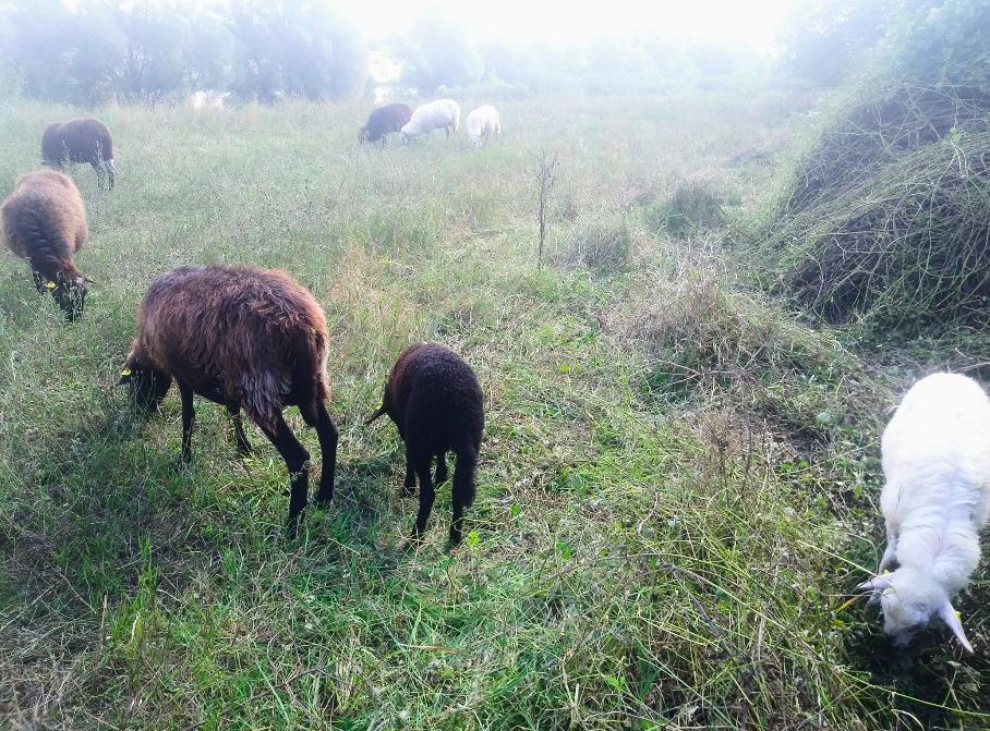 Die Schafe werden gut umsorgt: Wasser, Gesundheit und Zäune werden täglich kontrolliert.