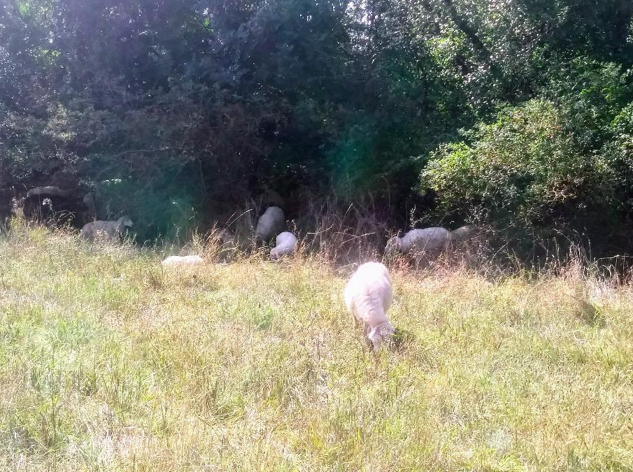 Schafe zählen? Probiert es aus: Wie viele Schafe verstecken sich in diesem Schafsuchbild?