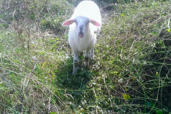 """Dürfen wir vorstellen: Eines der vielen Schafe, die gerade auf der Donauinsel """"mähen""""."""