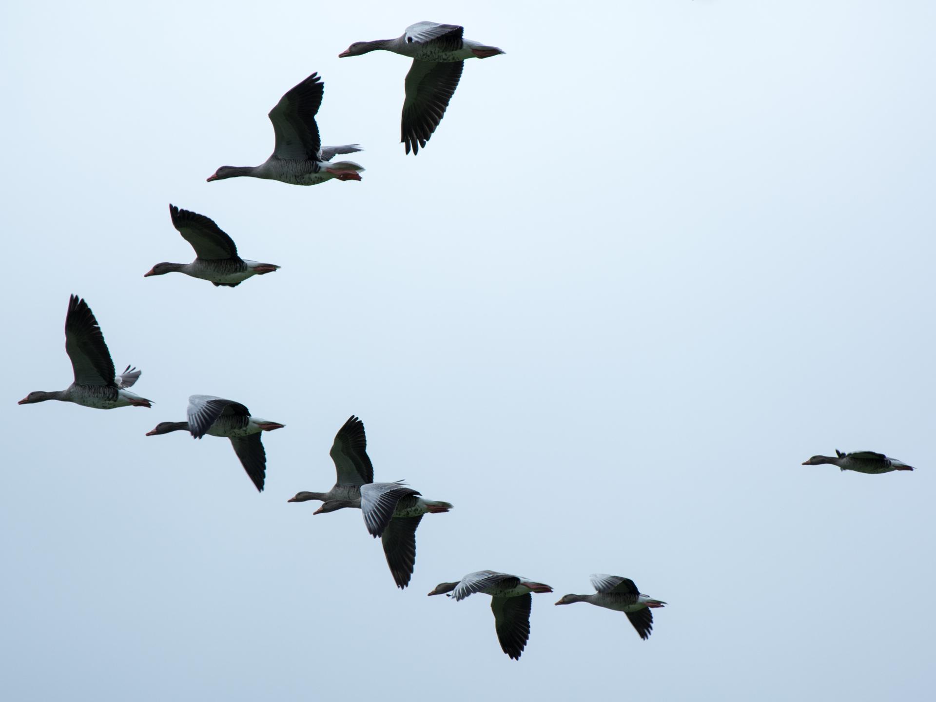 Ein Teil der Überlebensstrategie ist auch das Sparen von Energie, indem sie in V-Formation fliegen - Photocredit: pixabay.com/Antranias
