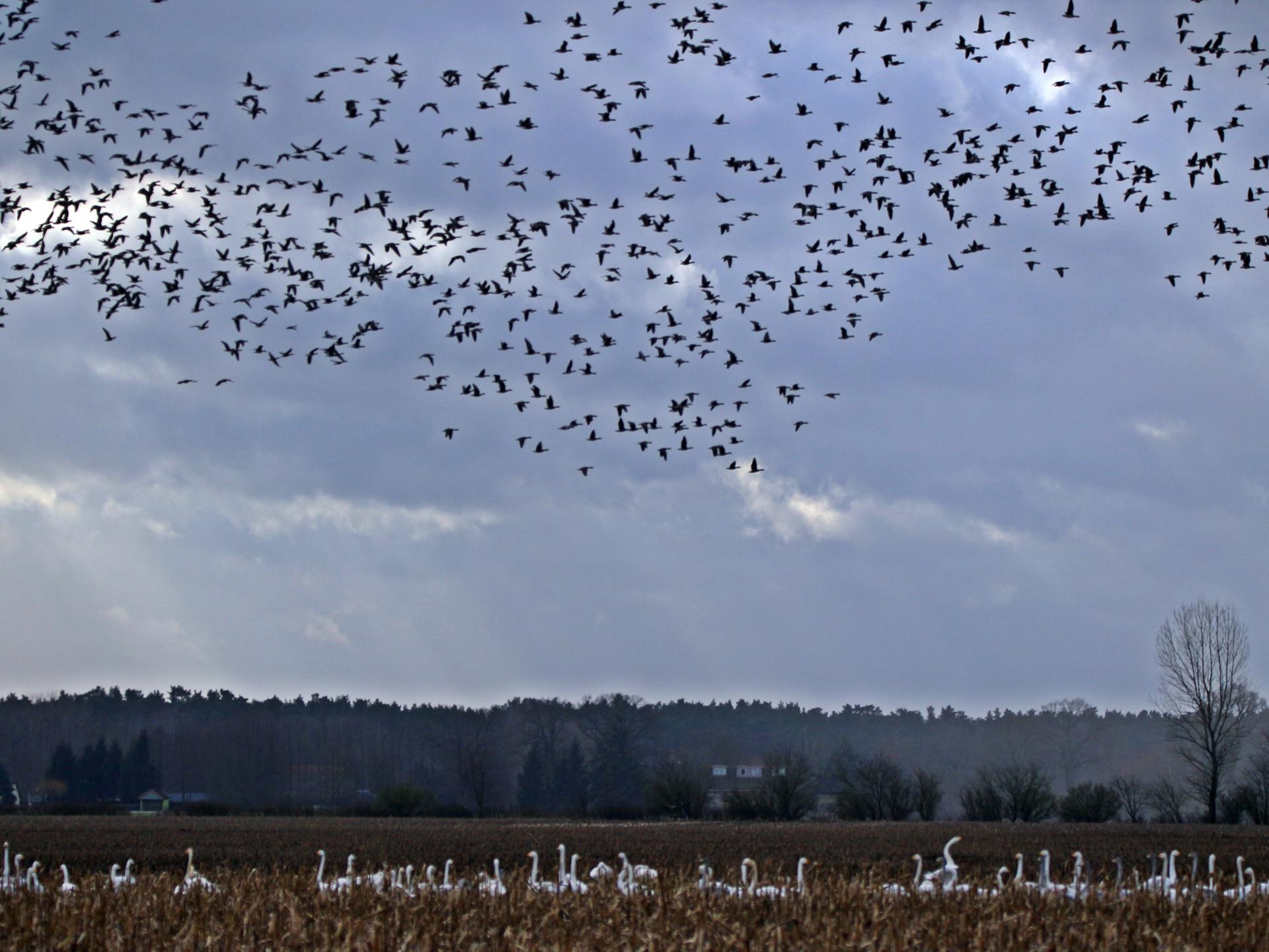 Die Flugbewegungen von großen Schwärmen kann ein ganz besonderes Erlebnis sein. - Photocredit: pixabay.com/rihaij