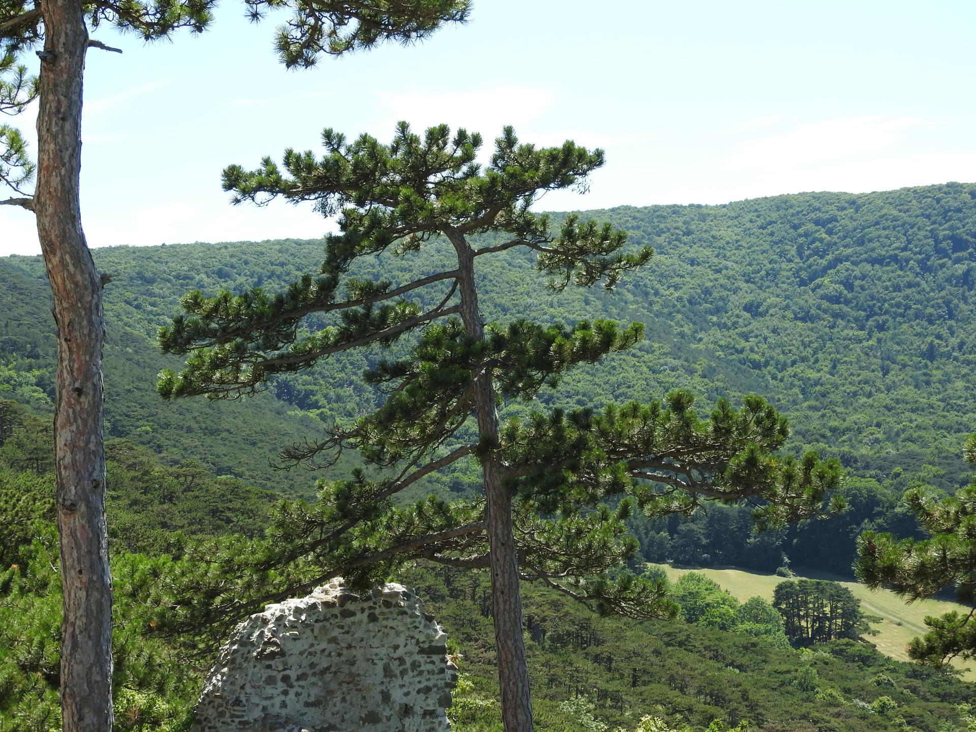 Föhren haben unter den Nadelbäumen eine sehr spezielle Wuchsform. - Photocredit: pixabay.com/PIX1861