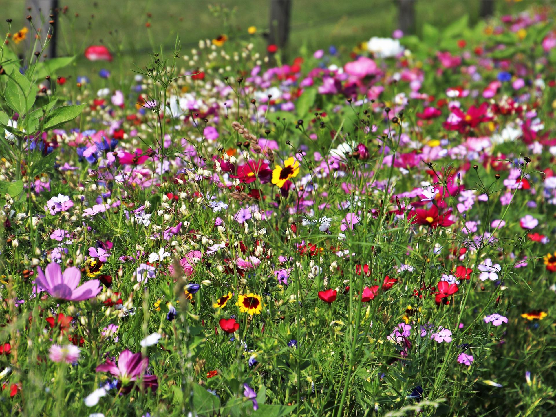 Artenreiche Wildblumenwiesen werden immer mehr zur Seltenheit. - Photocredit: pixabay.com/pasja1000