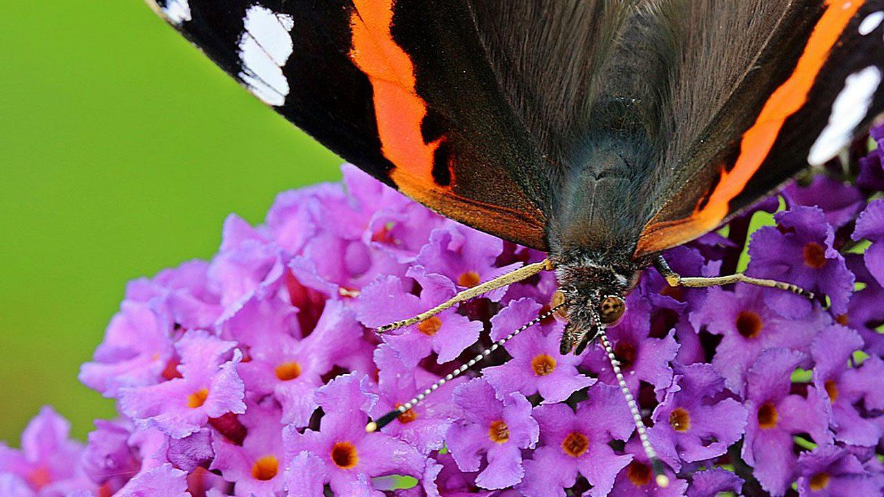 5. Biete den Tieren Futter. zum Beispiel Wilden Majoran und Schmetterlingsflieder. - Fotocredit: Piabay/Myriams-Fotos