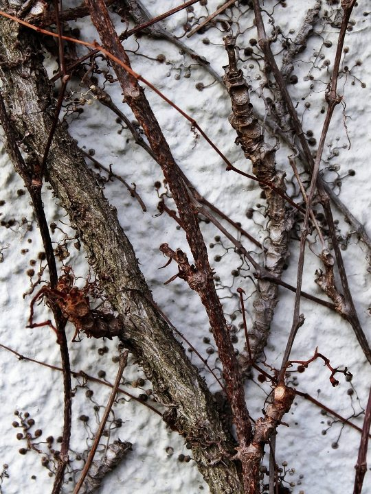 Fassadenbegrünungen im Winter punkten mit Struktur / Fotocredit: TanteTati - pixabay