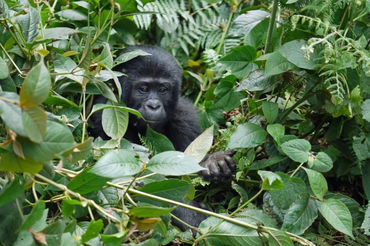 Der Berggorilla gehört zu den bedrohtesten Arten des Planeten. Foto: © MonikaP / Pixabay